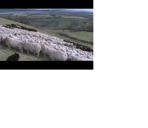 Sheep4_3